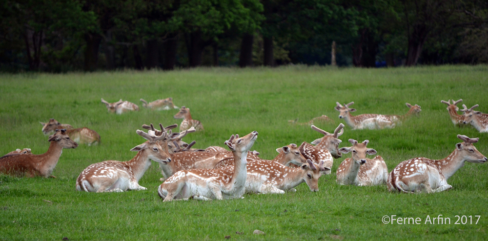 English fallow deer