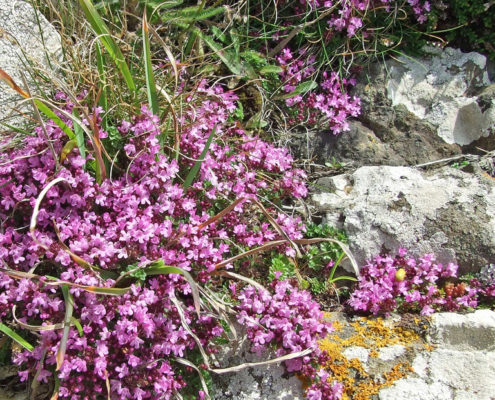 Pink Flowering Thyme photo by Philip Goddard ccl