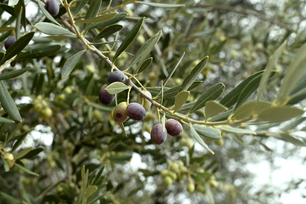 olives at Eumelia Organic Farm
