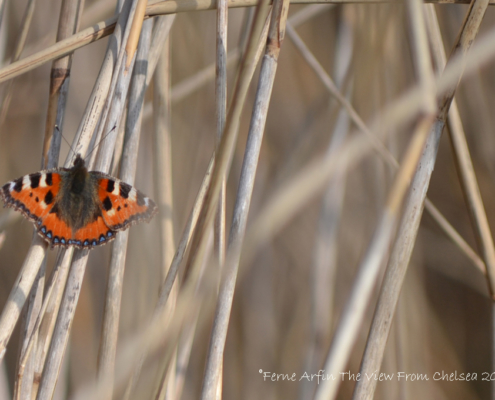 Furry tortoise shell butterly in marsh reeds, orange, white, black and blue markings.