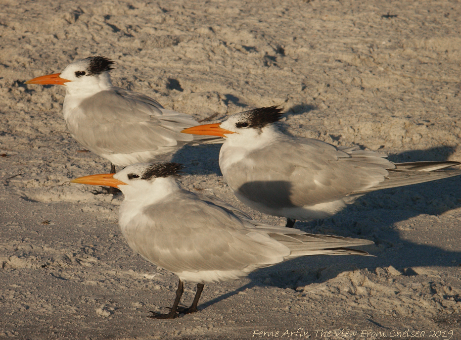 Royal Terns on Anna Maria Island