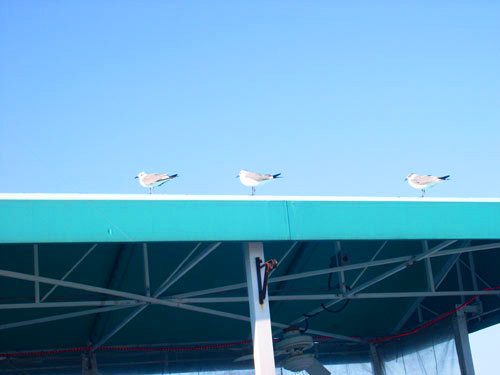Three seagulls even spaced on a turquoise wooden awning against a blue sky.