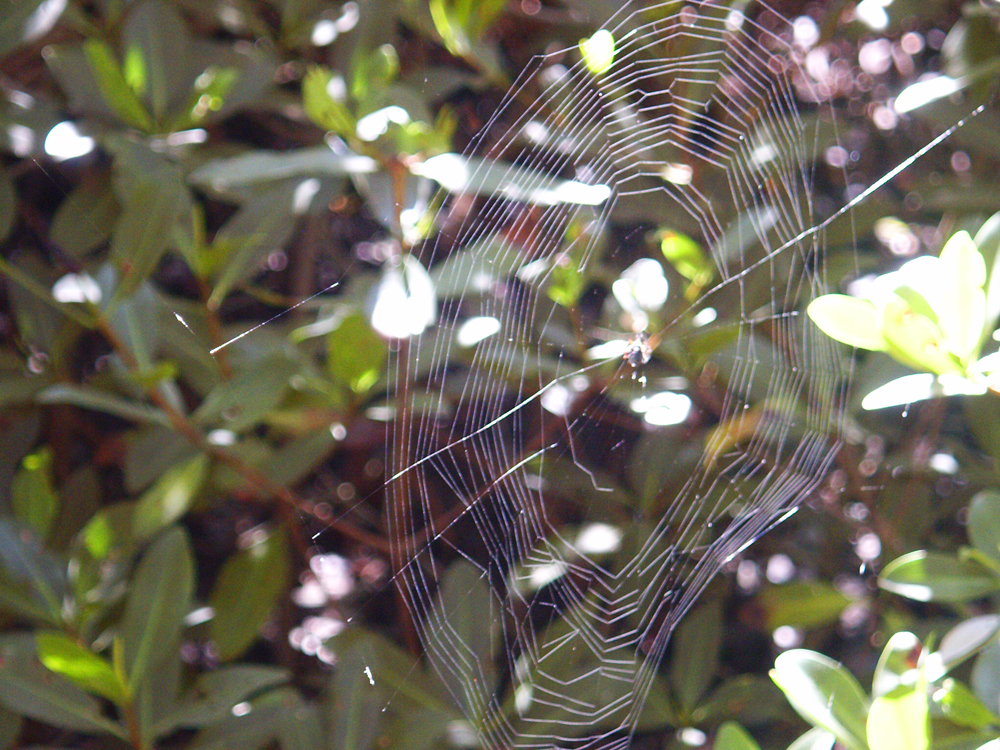 Spider web in the sunshine in a mangrove swamp