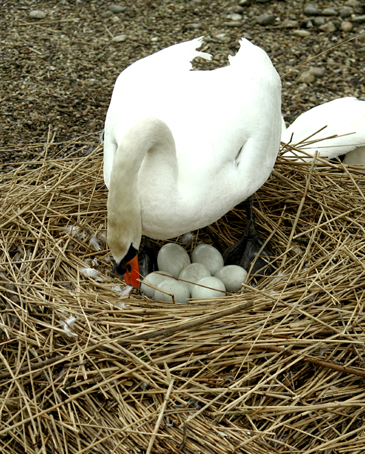 Female swan adjusting her eggs in her nest.