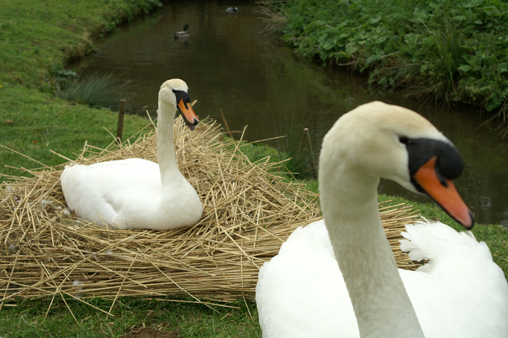 Abbotsbury Swannery Pair of mute swans a nest