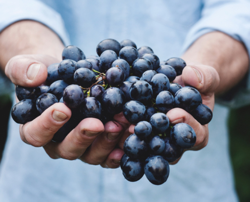 purple grapes at harvest in a man's hands