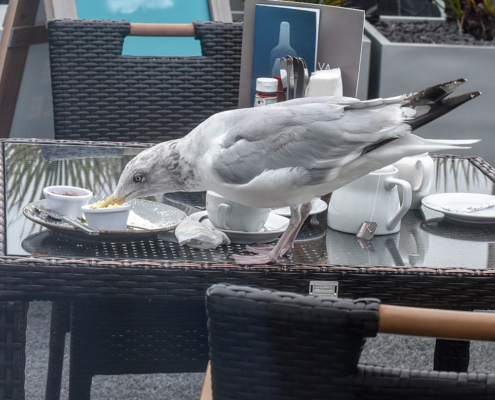 Thieving Seagull #seagull,#brazen_bird, #chancer, #thieving-bird, #St-Ives-gull