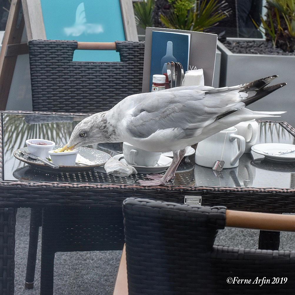 Seagull stealing my tea #seagull,#brazen_bird, #chancer, #thieving-bird, #St-Ives-gull