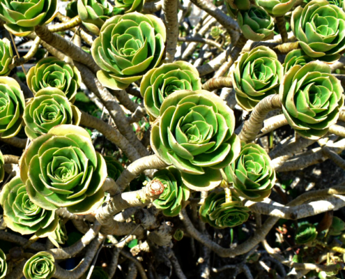 St Agnes, Isles of scilly, England, UK, succulents