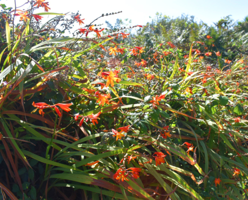 Wildflowers, orange flowers, St Agnes, September, England, Isles of Scilly, Duchy of Cornwall, England, UK