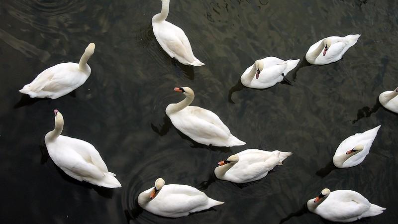 Mistley Swans, River Stour, Essex, England